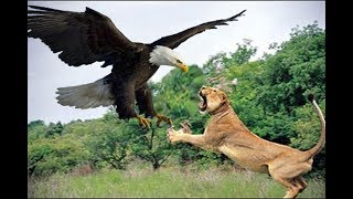 Eagle vs Lion real Fight - Wild Animals Attack