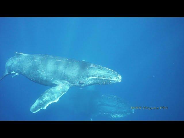 ザトウクジラ(Humpback whale)