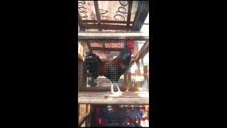 Ayam Bekisar rajin berkokok suara nyaring