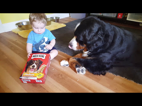 Baby feeding milk bones to his Bernese mountain dog!