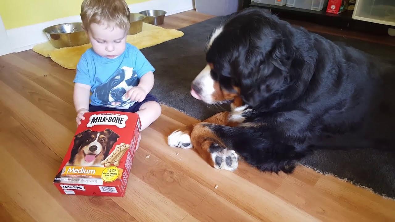 Baby Feeding Milk Bones To His Bernese Mountain Dog Youtube