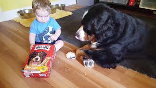 Repeat youtube video Baby feeding milk bones to his Bernese mountain dog!
