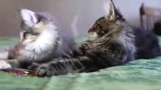 Как выбрать  и купить котенка породы мейн кун