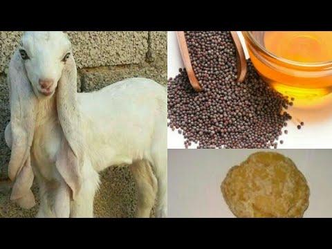 1st day care for goat babies ( bakri K bachon ki Pehle din