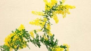 ミモザアカシアの花言葉、特徴、使い方、テクニックをトッププロが丁寧に教えます~I will teach you about a plant called Acacia decurrense