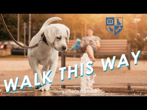 Using Walks to Improve Dog Behavior and End Pulling on Leash!