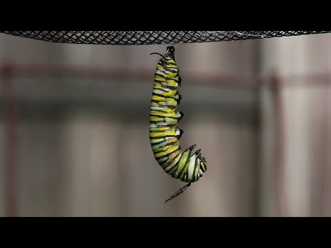 Monarch Caterpillar Changes to a Chrysalis