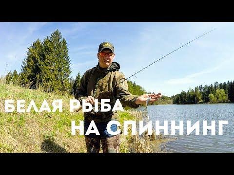 Ловля белой рыбы на спиннинг