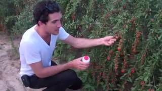 Teasources Europe & Paradise Superfood - Inner Mongolian Organic Gojis