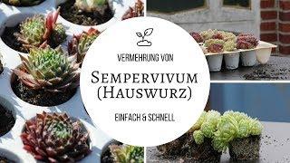 Hauswurz (Sempervivum) Vermehrung - schnell  und einfach