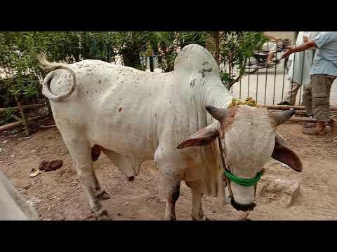 My Eid Cows 2019(6)