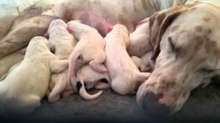Dalmatian Puppies, Just Born, Lemon Spot And Black Spot Dalmatians