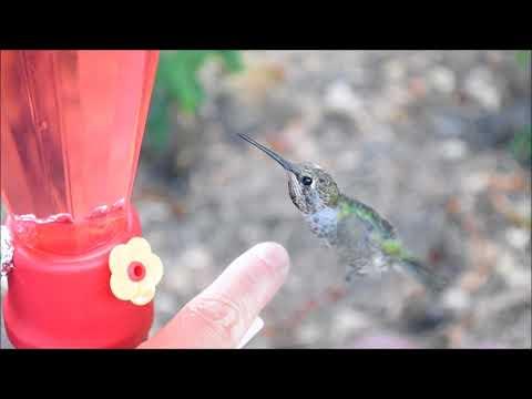 How to tame wild hummingbirds