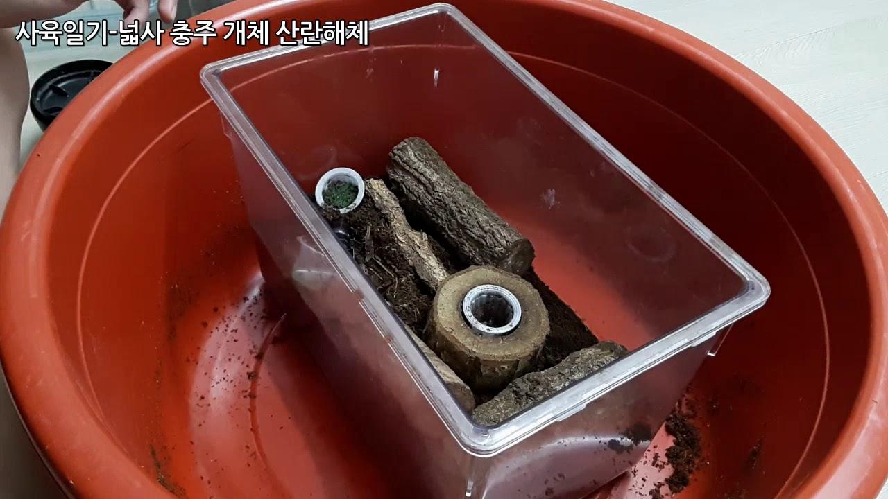[하루]재미있게 돌아온 넓적사슴벌레 산란해체!! (사육일지)
