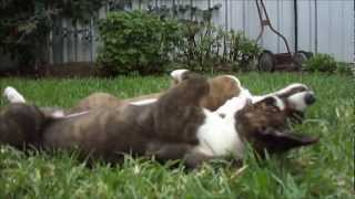 Cute Puppy Noises (cardigan Welsh Corgi's Fos And Ebo At 10 Weeks)
