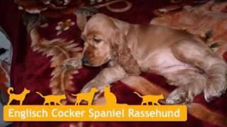 Englisch Cocker Spaniel Welpen In Oberhausen