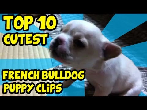 THE TOP 10 CUTEST FRENCH BULLDOG PUPPY VIDEOS OF ALL TIME