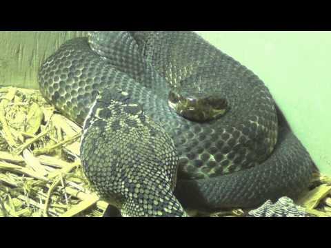 Eastern Diamondback Rattlesnake corners Cottonmouth