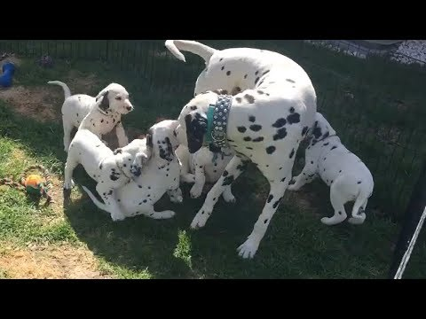 Proud Dalmatian jumps into pen to play with his puppies