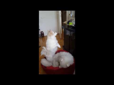 German Spitz: Jumping Fur Ball