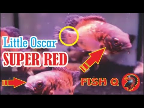 Little Oscars Super Red Fish Q Youtube