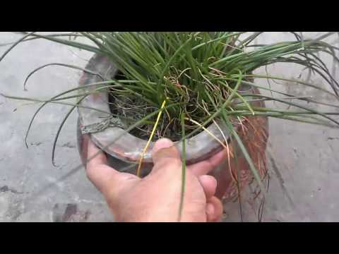How To Grow Saffron Plant At Home (Urdu/Hindi)