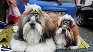 Ши-тцу Патрик и Дракоша. 7 мес. Староконный рынок.Продажа собак.Odessa.