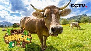 [正大综艺·动物来啦]牛的四个胃中有几个胃是利用消化液进行消化的?  CCTV