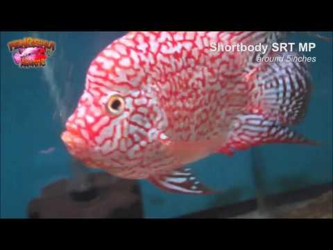 Kaneko goldfische nachzuchten tamasaba selection of my for Japanische teichfische