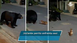 Perrito chihuahua ahuyenta a enorme oso en calles de Nuevo León