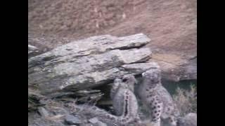 На видео самка снежного барса с котятами