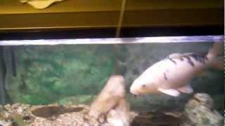 Biggest Koi Ever! Big Ass Fish in a Little Ass Tank
