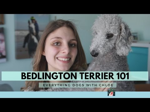 BEDLINGTON TERRIER DOG - BEDLINGTON TERRIER TRAITS