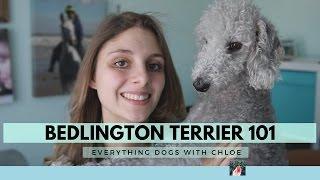 BEDLINGTON TERRIER DOG  BEDLINGTON TERRIER TRAITS