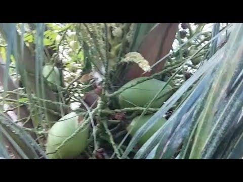 2 years Old Malayan Dwarf Coconut  Tree  കുള്ളൻ  തെങ്ങ്കൃഷി