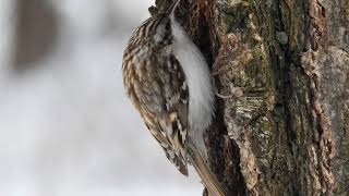 Обыкновенная пищуха Certhia familiaris / Eurasian treecreeper