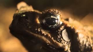 Все О Домашних Животных: Жаба Ага - Ядовитая, Но Красивая