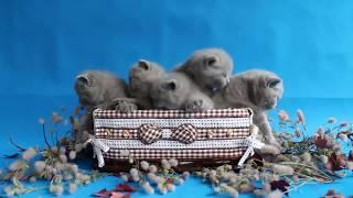British kittens 1 month / Британские котята 1 месяц / Купить котенка в Беларуси