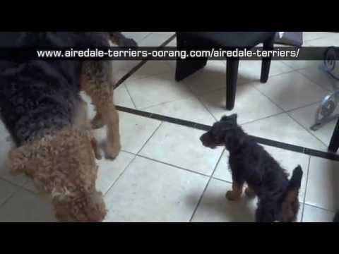 airedale-terrier-biting