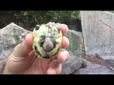 Baby Elongated Tortoise Surprise! Kamp Kenan Bonus