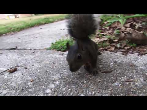Real Squirrel Attack!!!