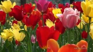 撮影2011/05/19 雪谷川ダムフォリストパークのチューリップ園にて 色と...
