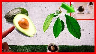 Sprout Avocado ★ VERY EASY ★   Plant Avocado   Plant Avocado   #CultivoPasoaPaso
