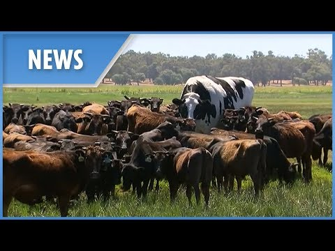 Muss - Have You Seen The GIANT Cow From Australia? Gotta SEE!