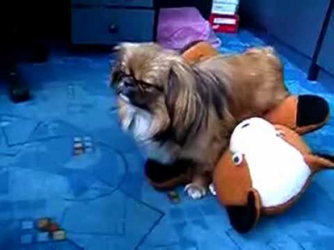 Dog Humps Stuffed Animal so Hard he Passes Out - how to laugh