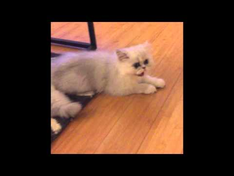 4-month-old Persian kitten being playful and curious.