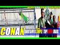 Ijo Conan Bikin Geger Banjarsari Jawara Nasional Rawatannya Kaya Burung Juara Latber  Mp3 - Mp4 Download