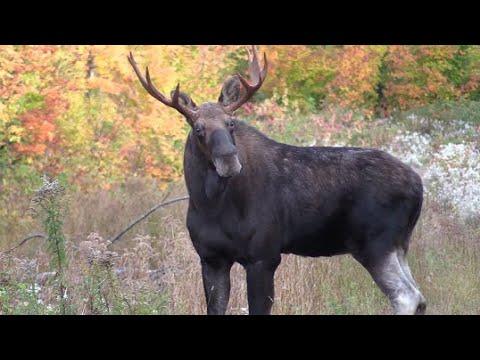 NBMooselovers New Brunswick Moose Moments