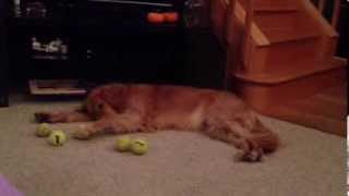 "Golden Retriever ""pets"" Tennis Balls"