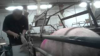 Cok Investigates: Cruelty Exposed At Iowa Factory Farm And Hormel Supplier